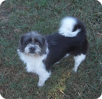 Shih Tzu Mix Dog for adoption in East Hartford, Connecticut - Roxanne-in CT