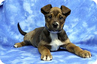 Retriever (Unknown Type) Mix Puppy for adoption in Westminster, Colorado - MEATLOAF