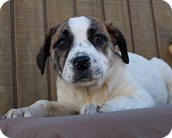 Terrier (Unknown Type, Medium)/Cattle Dog Mix Puppy for adoption in Mayflower, Arkansas - Tulip