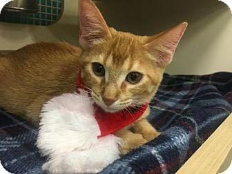 American Shorthair Cat for adoption in ROSENBERG, Texas - Chance