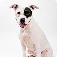 Adopt A Pet :: Samantha - Sanford, NC