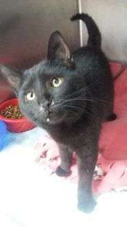 Domestic Shorthair/Domestic Shorthair Mix Cat for adoption in Greenville, Pennsylvania - Brice