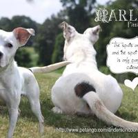 Adopt A Pet :: Harley - Anderson, SC