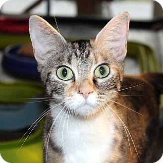 Domestic Shorthair Cat for adoption in Fairfax, Virginia - CJ