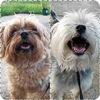 Yorkie, Yorkshire Terrier Mix Dog for adoption in Spring, Texas - Harley & Amari