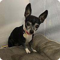 Adopt A Pet :: Clair - Studio City, CA