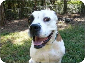 American Bulldog Mix Dog for adoption in Mocksville, North Carolina - Ricky