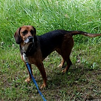 Adopt A Pet :: Peaches - Salem, WV