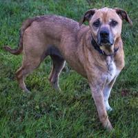 Adopt A Pet :: Haley - Fairfax, VA