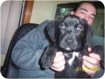 Labrador Retriever/Chesapeake Bay Retriever Mix Puppy for adoption in Oak Lawn, Illinois - Lexie