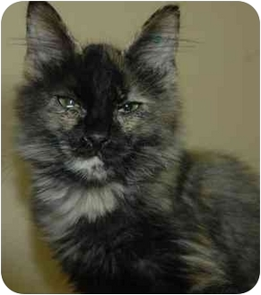 Domestic Mediumhair Cat for adoption in Pendleton, Oregon - Unmade Bed