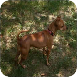 Miniature Pinscher Dog for adoption in Springvale, Maine - LIBBY