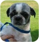 Shih Tzu Dog for adoption in Foster, Rhode Island - Sophie