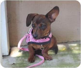 Dachshund Mix Puppy for adoption in Yorba Linda, California - Paisley