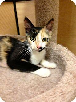 Calico Cat for adoption in Brea, California - CHLOE