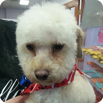 Poodle (Toy or Tea Cup) Dog for adoption in Romeoville, Illinois - Coco