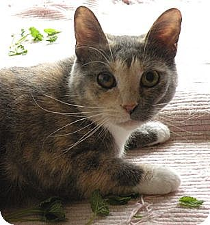 Calico Cat for adoption in Rohrersville, Maryland - Holly