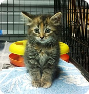 Domestic Mediumhair Cat for adoption in Princeton, Kentucky - Buttons