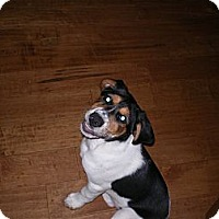 Adopt A Pet :: Bonnie - Apex, NC
