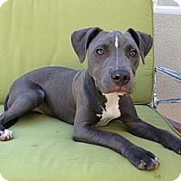 Adopt A Pet :: Stella - Santa Monica, CA