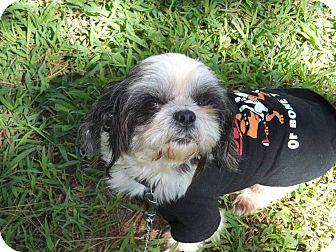 Shih Tzu Mix Dog for adoption in East Hartford, Connecticut - Shorty 5-pending adoption