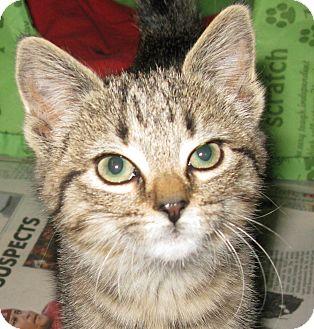 Domestic Shorthair Kitten for adoption in Bedford, Virginia - Dixie