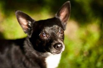 Chihuahua/Terrier (Unknown Type, Small) Mix Dog for adoption in Bloomington, Indiana - Onyx