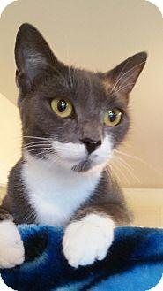 Domestic Shorthair Cat for adoption in Trevose, Pennsylvania - Josie