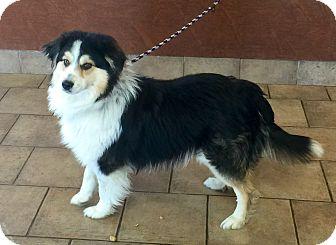 Australian Shepherd Mix Dog for adoption in Oswego, Illinois - I'M ADOPTED Guinness Good :)
