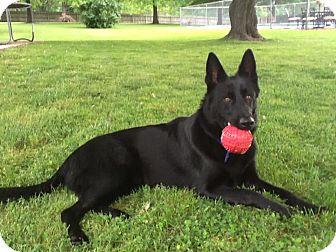 German Shepherd Dog Mix Dog for adoption in Clarksville, Indiana - Bear