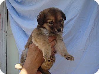 Golden Retriever/Shepherd (Unknown Type) Mix Puppy for adoption in Old Bridge, New Jersey - Precious
