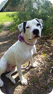 American Pit Bull Terrier Mix Dog for adoption in Boston, Massachusetts - Goldmine