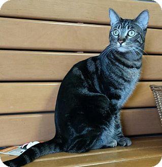 Domestic Shorthair Cat for adoption in Scottsdale, Arizona - Callie
