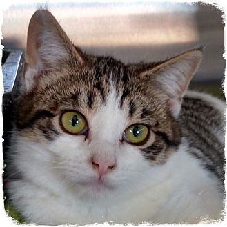 Domestic Shorthair Kitten for adoption in Pueblo West, Colorado - Bing