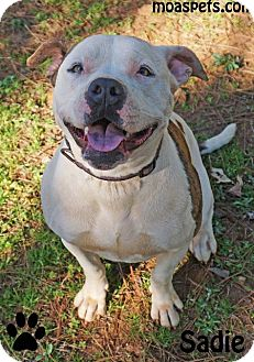 Pit Bull Terrier Mix Dog for adoption in Danielsville, Georgia - Sadie