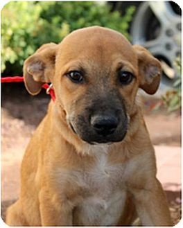 Boxer/Labrador Retriever Mix Puppy for adoption in Denver, Colorado - Tulas Girl Ciara