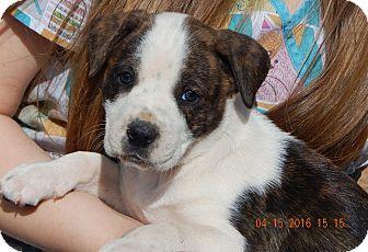 Australian Shepherd/Boxer Mix Puppy for adoption in Niagara Falls, New York - Cinder (6 lb)