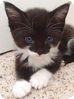 Domestic Shorthair Kitten for adoption in Tucson, Arizona - Danni - our Darling