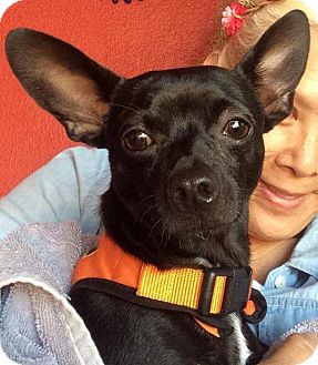 Chihuahua Mix Dog for adoption in Mount Hope, Ontario - Chico
