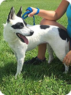 Border Collie Mix Dog for adoption in Covington, Virginia - Oreo