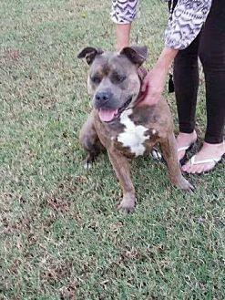 Pit Bull Terrier Mix Dog for adoption in Broken Arrow, Oklahoma - Little Man