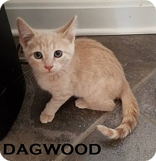 Domestic Shorthair Cat for adoption in Speedway, Indiana - Dagwood