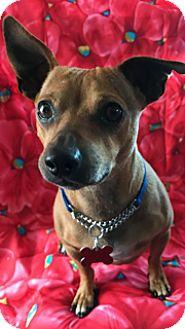 Dachshund Mix Dog for adoption in Santa Monica, California - Homer