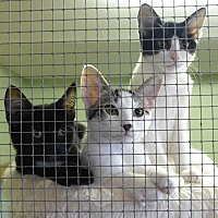 Domestic Shorthair Kitten for adoption in Quincy, California - Prince