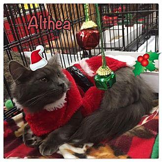 Ragdoll Cat for adoption in Harrisburg, North Carolina - Althea