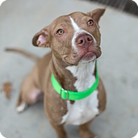 American Pit Bull Terrier Mix Dog for adoption in Des Peres, Missouri - Chai