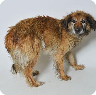 Shepherd (Unknown Type)/Australian Shepherd Mix Dog for adoption in Fruit Heights, Utah - Lucky