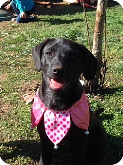 Labrador Retriever Mix Puppy for adoption in Knoxville, Tennessee - Emma