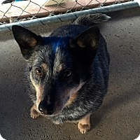 Adopt A Pet :: Danny Purebred Blue Heeler - Corona, CA