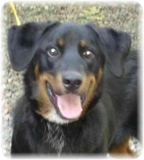 Bernese Mountain Dog/Labrador Retriever Mix Dog for adoption in Wyoming, Minnesota - Bernie